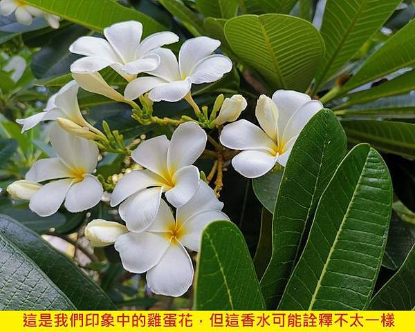 【LUSH】Frangipani (雞蛋花)4.jpg