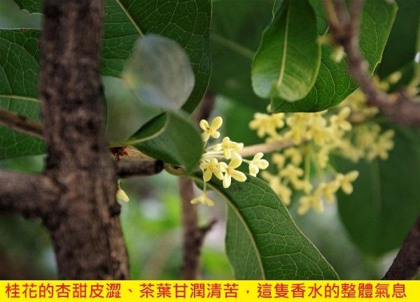 【香魄】蜜香紅桂 (Osmanthus Tea)3.jpg
