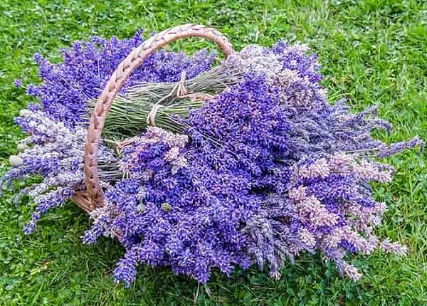 【Eric Buterbaugh】Velvet Lavender (天鵝絨薰衣草)4.jpeg