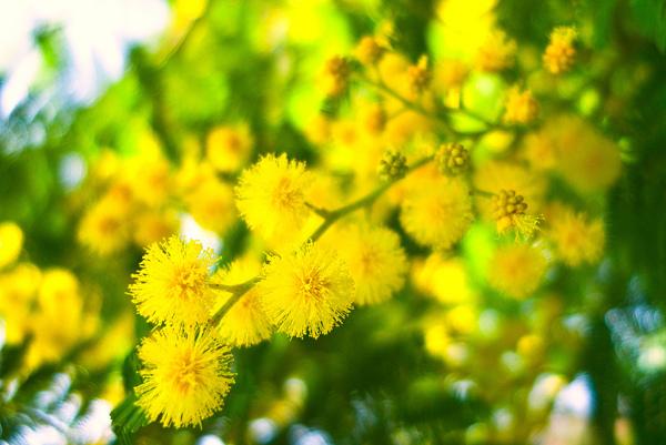 【Eric Buterbaugh】Southern Mimosa (南方的金合歡)5.jpg