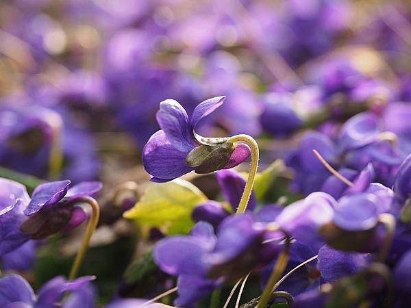 【Eric Buterbaugh】Fragile Violet (脆弱的紫羅蘭)2.jpg