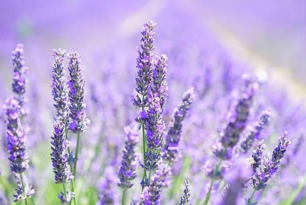 【April Aromatics】Lavandeluce (微醺衣草)2.jpg