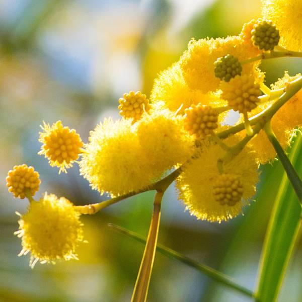 【Amouage】Love Mimosa (黃金羽)5.jpg