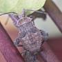 瘤緣椿象若蟲26