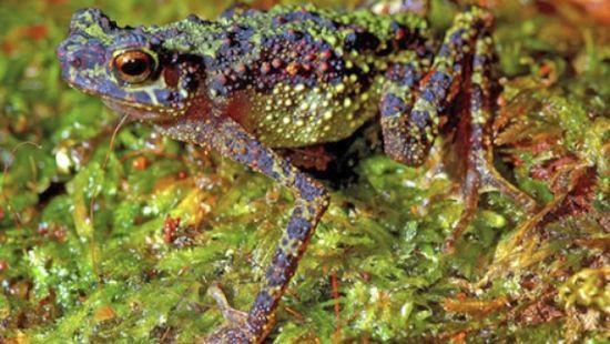 婆羅洲彩虹蟾蜍