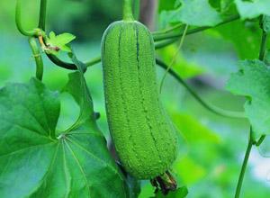 菜瓜種植及其栽培方式