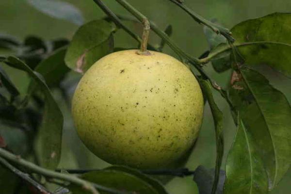 台灣香檬-果2.JPG