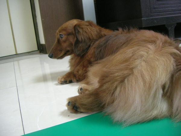 約克夏軍團(蹓狗)