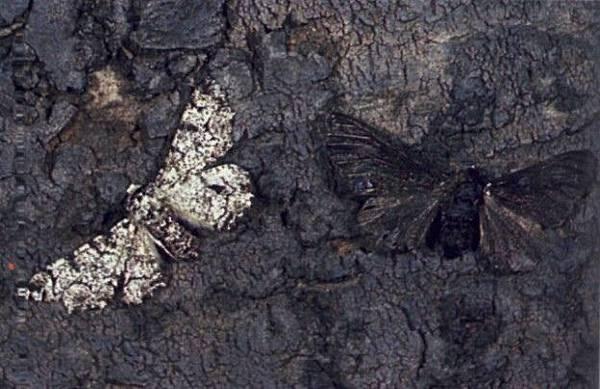 pepper_moth2-624x404.jpg