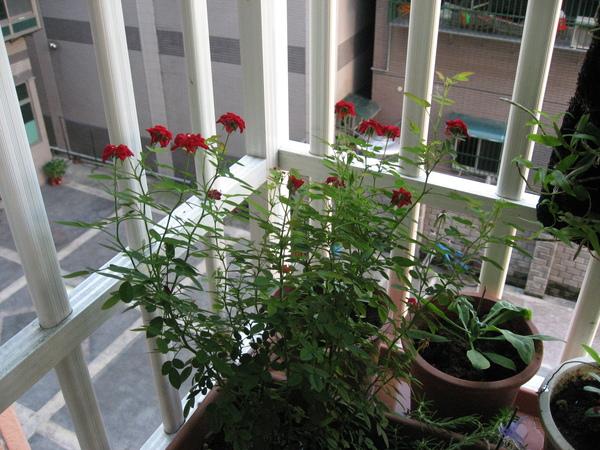 窗台小野玫
