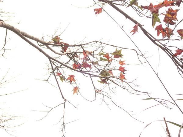 零星的楓葉