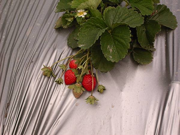 可愛的草莓