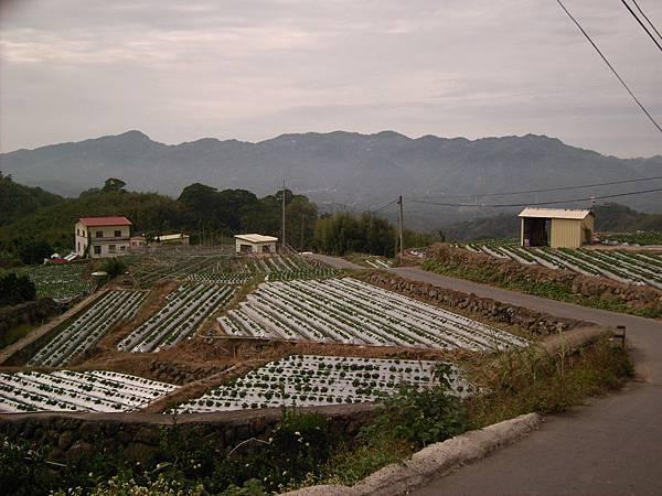 路旁都是梯田草莓園