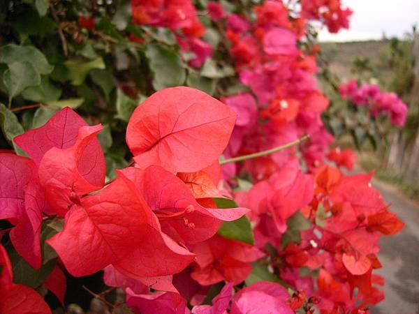 遠看像花近看像葉子