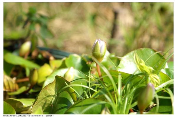 含苞的小蓮花