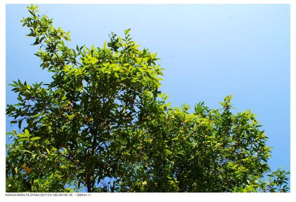 不知名的樹