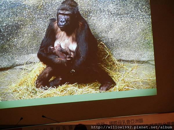 猩猩怎麼餵---學牠樣就對了