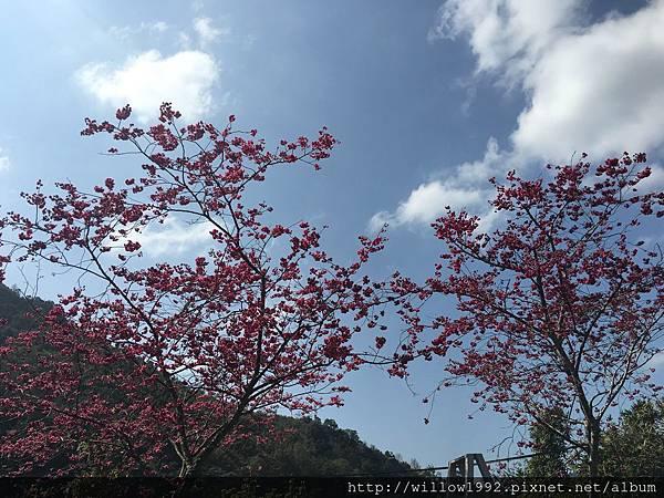 櫻花季節在南庄.JPG