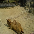 駱駝懶懶的