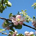 J家的蘋果花