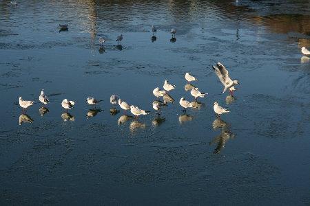 """寒流來襲3-海鷗""""站""""在水面上"""