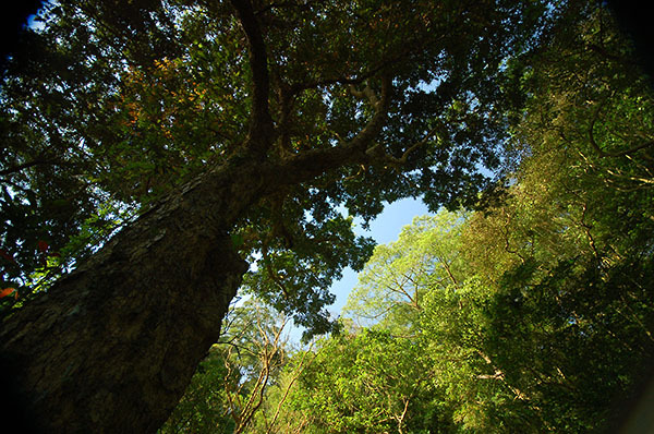 16:00 H256M 通往白雲山的古道上,參天聳立的古木,一株株圍成密不透天的樹海。