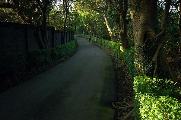 16:56 H418M 過路底愚牛厝,來到仁民路上,柏油路的兩側是修剪整齊的金華露和佇立的老榕樹。陽光照在金華露上,新綠的葉子,展現了嫩綠的光澤。
