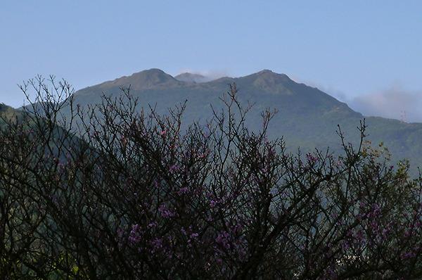 17:00 南非大使館前,格致中學營地圍牆內的山櫻花和後方七星山。