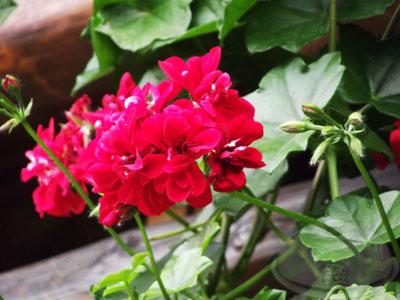 山行玫瑰31
