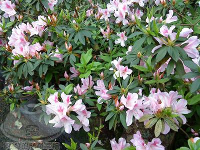 淡水天元宮02-05-杜鵑花