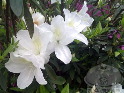 淡水天元宮02-06-杜鵑花