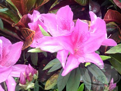 淡水天元宮02-07-杜鵑花
