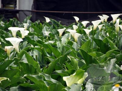 陽明山竹子湖海芋05-採海芋趣