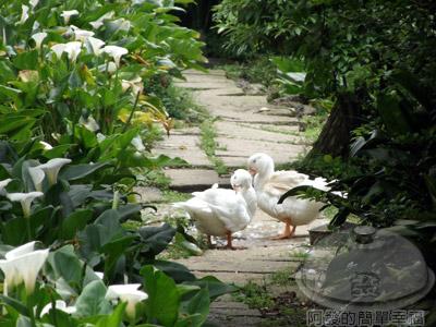 陽明山竹子湖海芋12-賞海芋步道