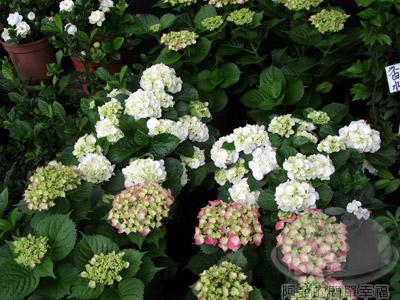 陽明山竹子湖海芋18-商家販售的花卉