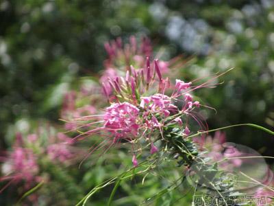 白石湖n後湖濕地09-店家栽種的花卉