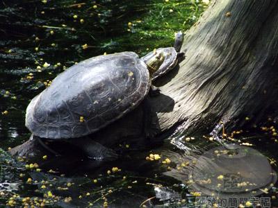白石湖n後湖濕地13-生態池塘