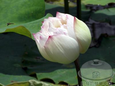 白石湖n後湖濕地23-蓮花