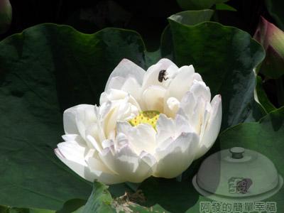 白石湖n後湖濕地24-蓮花