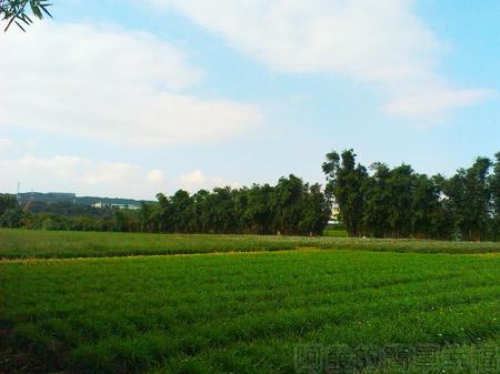 大溪韭菜花海06處處可見綠油油的韭菜田