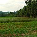 大溪韭菜花海07十月已是韭菜花海的尾聲