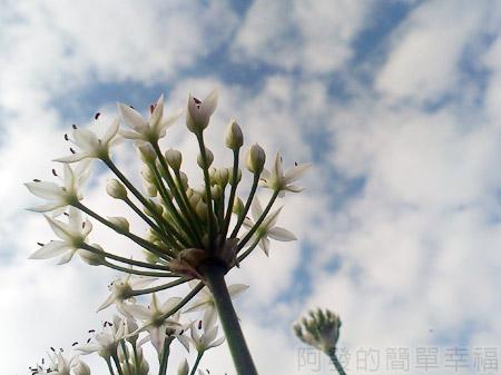 大溪韭菜花海12韭菜花一角