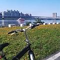 大稻埕碼頭07往台北橋方向黃色小波斯菊