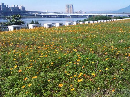 大稻埕碼頭08往台北橋方向黃色小波斯菊