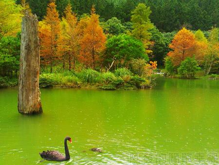 北橫明池賞楓32湖中悠閒的黑天鵝