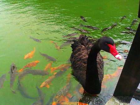 北橫明池賞楓33黑天鵝與魚群