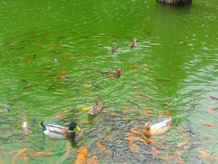 北橫明池賞楓34除了鴨子和魚群外還有鴛鴦