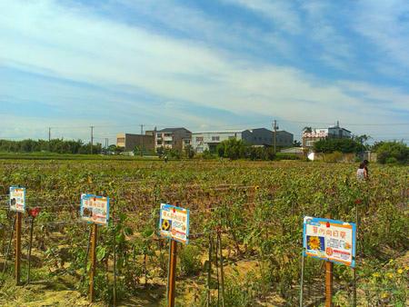 桃園觀音-向陽農場08太陽花花圃