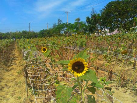 桃園觀音-向陽農場09太陽花花圃