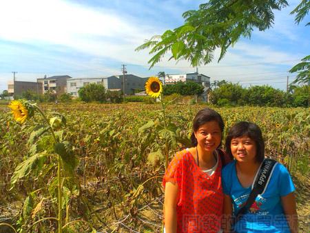 桃園觀音-向陽農場10太陽花花圃